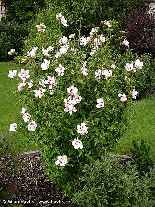 flowering rose of sharon