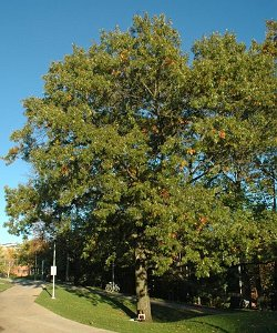 Mature height of a scarlet oak